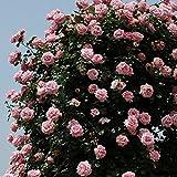 バラ苗 羽衣 国産大苗6号スリット鉢 つるバラ(CL) 四季咲き ピンク系