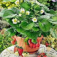 100個牛乳盆栽スーパーイチゴ盆栽盆栽NON-GMO非常に甘いジューシー盆栽ホーム&ガーデン:4