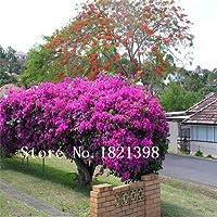 黒:100ブーゲンビリアの種盆栽の庭のための花の種、2買う10ローズギフト
