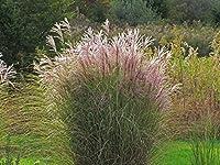 発芽SEEDS:ススキGracillimus乙女髪の装飾用の草3インチポット用