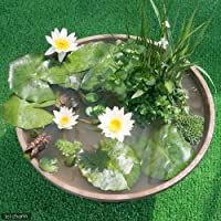 charm(チャーム) (ビオトープ/睡蓮)はじめての熱帯性睡蓮ビオトープセット(熱帯性睡蓮白、陶鉢、水辺植物、メダカ他) 説明書付 【生体】