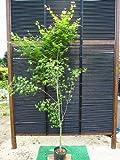 人気の!☆イロハモミジ☆一本立ち 樹高2.0m前後 ポット入 綺麗な樹形♪