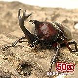 (昆虫)国産カブトムシ 幼虫(2~3令)(50匹) 本州・四国限定[生体]