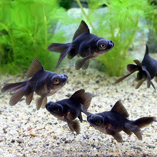 (国産金魚)よりなし(無選別) 黒出目金(クロデメキン)(3匹) 本州・四国限定[生体]