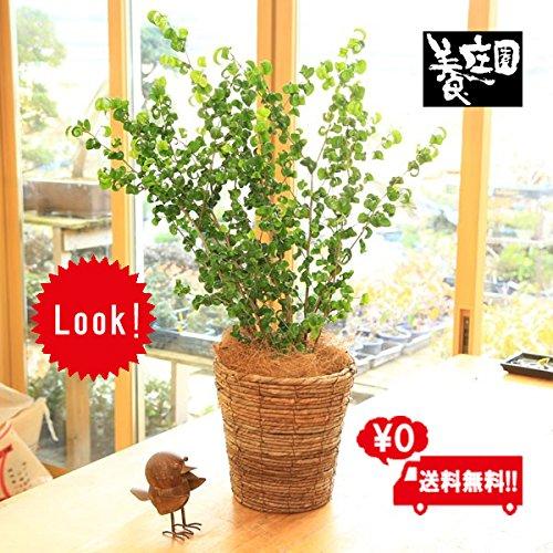 観葉植物:フィカスベンジャミン(ベンジャミナ)バロック*天然素材カゴ付き バスケット