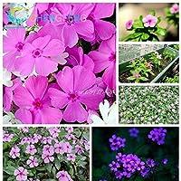 ブルゴーニュ:100穀物ツルニチニチソウ屋内珍しい朝顔の花の種庭盆栽新しいペチュニアセミラールギフト植物用販売