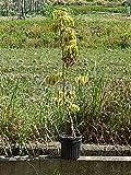 花水木 ハナミズキ苗 白花 斑入りの葉 レインボー