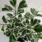 フィカス:トライアンギュラリス 斑入り3.5号ポット[斑入りのハート形葉が美しい観葉植物] ノーブランド品