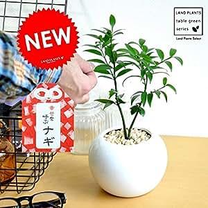LAND PLANTS 縁結びの木 梛(ナギ) 白色丸型陶器
