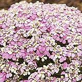 新しい!50+イベリスピンクの常緑樹のCandytuftの花の種の組合せ/抵抗力があるシカ