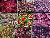 2016年ホット100 RAINBOW MIXコリウスの種子花の種子