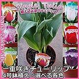 芽出し 一重咲き チューリップ4号鉢植え【鉢花・花苗】 (花色:白(ホワイト)3球植え)