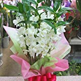 デンドロビューム(デンドロビウム)白色 退職などのお祝い花や誕生日プレゼント、退職・昇進・昇格などお祝い花ギフトにおすすめ季節の鉢植え