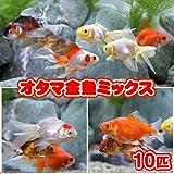 (国産金魚)オタマ金魚ミックス(10匹) 本州・四国限定[生体]