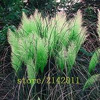 400pcs /バッグgarss、種子、S、家庭菜園用の花Selloanaの種子:10