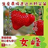 【秋植えイチゴ苗】 女峰 9cmポット