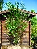 エゴノキ 白花 H2.5m前後 株立ち!シンボルツリーに最適です♪