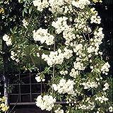 モッコウバラ:白花八重3号ポット28株セット[フェンスやトレリスに!香りのよい白もっこうばら]