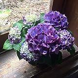 紫陽花 父の日 母の日ギフト 誕生日プレゼント 新築祝い あじさい 鉢植え アジサイ 紫陽花 パープル