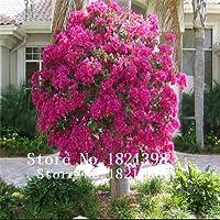 紫:100ブーゲンビリアの種盆栽の庭のための花の種、2購入10ローズギフトをゲット