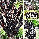 ブラック:100個食用良い味ジャボチカバ種子健康フルーツ種子