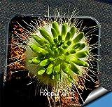 新しい新鮮な種子多肉植物の種子Echinopsisのtubiflora、サボテンの種、希少な花サボテン、約10個/袋、#3SXYGL