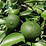 柑橘類苗木 すだち(酢橘)