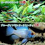 (熱帯魚)カージナルテトラ(ワイルド)(10匹) + ブルーダイヤモンド・ラミレジィ(3匹) 本州・四国限定[生体]