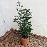 ゲッキツ(シルクジャスミン)8号鉢植え[丈夫で育てやすい観葉植物・オレンジジャスミン] ノーブランド品