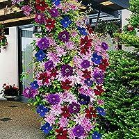 100pcs /袋美しい健康なクレマチスの花の種クレマシスの種は植物の種を登るガーデン用品を美化