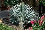 【種子】Yucca Rostrata ★ユッカ・ロストラータ◎5粒 ブルーがかった葉が美しい品種/△20℃にも耐える耐寒性も魅力◆リュウゼツラン科イトラン属♪ (Rostrata)