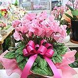 シクラメン 鉢植え 「ファルバラローズ」ピンク色 5号かご付き 香りのするシクラメン 誕生日に贈る花 お歳暮花ギフト