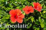 Chocolate vol.15