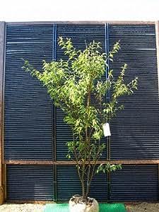 ハイノキ 株立ち樹高1.8m前後 灰木