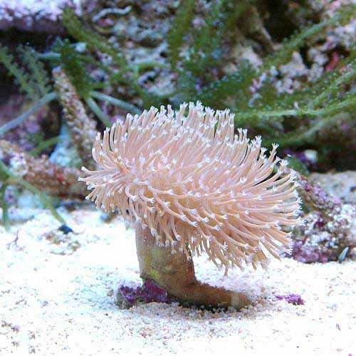 (海水魚 サンゴ) 沖縄産 ウミキノコ ロングポリプ Mサイズ(1個) 本州・四国限定[生体]
