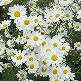 ピレスラム(除虫菊):白花3号ポット 4株セット