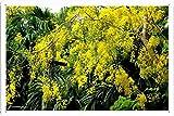 ミモザ開花春小枝64783 の金属看板 ティンサイン ポスター / Tin Sign Metal Poster of Mimosa Flowering Spring Twigs 64783