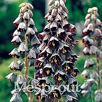 9:50個希少なFritillariaの種子、盆栽の花の種、家宝のFritillaria Meleagrisの多年生の花の種、家庭菜園のための植物