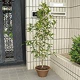 庭樹盆栽:金木犀(キンモクセイ)鉢植え*
