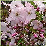 桜(サクラ)苗木 御殿場桜(ゴテンバザクラ)