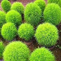 3:500コチアScoparia種子燃える茂み草急速に育つ丈夫な夏のサイプレス赤い庭観賞用の簡単に育てる盆栽ホームガーデン