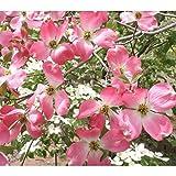 ハナミズキ:ピンクオーツカ根巻き樹高1.2~1.5m
