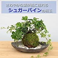 5枚に分かれた葉がスタイリッシュ【シュガーバインの苔玉・炭化焼締器セット】 (敷石の色(白))