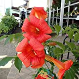 ノウゼンカズラ:レッド5号鉢植え[夏の花!庭木として育てやすい品種]