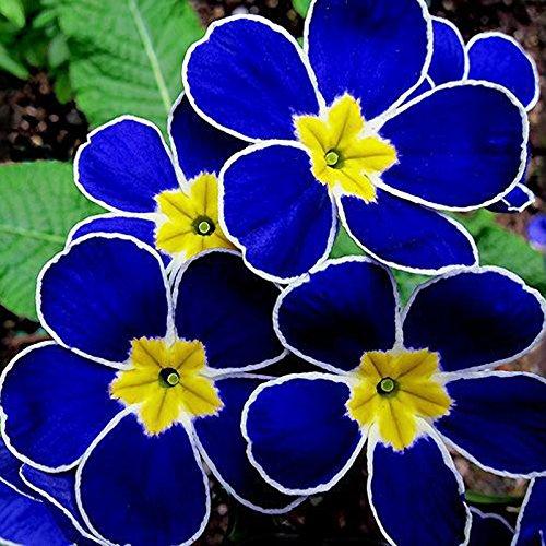 Egrow 100PCSブルー月見草種子レア庭香りの花盆栽の種