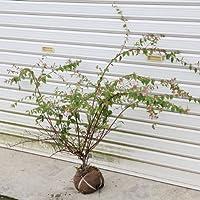 桃色の豪華な生垣に出来ます!庭木:アベリア(あべりあ) エドワードゴーチャ H:約40-50cm