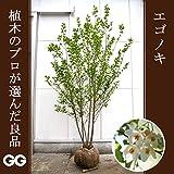 エゴノキ 株立 2.0~2.4m程度(根鉢含まず)