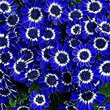 Blue Daisy seeds Rare Flower bonsai plant seeds for DIY Home & Garden 30 pcs Daisy A1