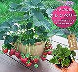 いちご 苗 カレンベリー 3号ポット苗 イチゴ 苺