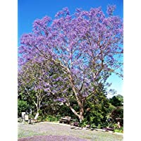 シードとものBlue Jacaranda Tree 20 Seeds - Tropical